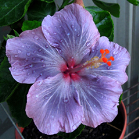 Hibiscus Moorea Half Rim х Taiwan Purple Spotted Butterfly
