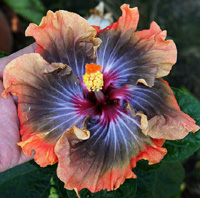 Hibiscus Midnight Sharp Light х Taiwan Dark King