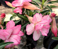 Adenium Angel Double Flowers