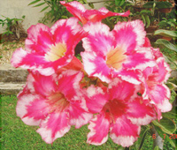 Adenium Fire of Love