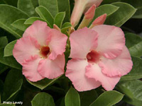 Adenium Pretty Lovely