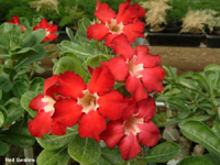 Adenium Red Swallow