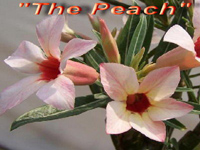 Adenium The Peach