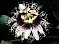 Пассифлора Черная красавица Passiflora edulis Black Beauty