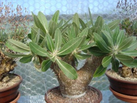 Пахиподиум густоцветковый Pachypodium densiflorum