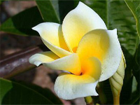 Plumeria Lemon Drop