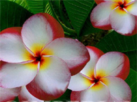 Plumeria Red Star White