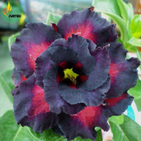 Adenium Black Sharm