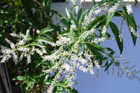 Вербена лимонная, Lippia citriodora Aloysia citriodora