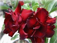 Adenium Black bird