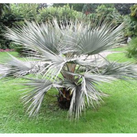 Brahea sp. Super silver (Silver Rock Palm)