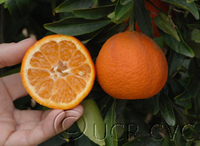 Клементин сорт Caffin Citrus Caffin clementine