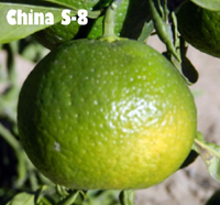 Мандарин сорт China S-8 Satsuma Citrus China S-8 Satsuma mandarin
