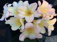 Clivia Blushing Virgin Pink x C. Variegated