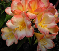 Clivia Dream Girl X Reflex Yellow