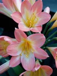 Clivia Copper Bronze Cup x Joyful Voices
