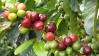 Кофе арабика сорт Colombian Coffea Colombian