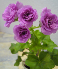 Герань зональная Geranium Zonal Horizon Lilac Rose Splash