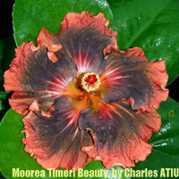 Hibiscus Tane Honey X Moorea Timeri Beauty