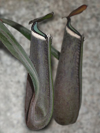 Nepenthes Albomarginata Grey form v.Giant