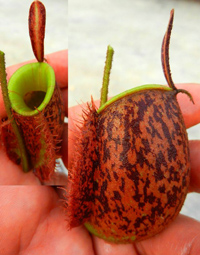 Nepenthes Ampullaria Orange Speckle Green Lips