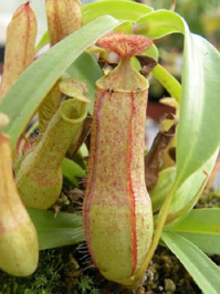 Nepenthes Gracilis Borneo