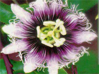 Пассифлора Золотой гигант Passiflora edulis Golden Giant