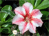 Adenium Star of Flame
