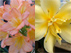 Clivia Intimate Pink x Vico Yellow with tepular multipetal