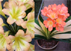 Clivia Soft Touch x Variegated