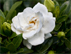 Gardenia jasminoides var. Crown Jewel