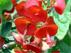 Holmskioldia sanguinea Холмшельдия кроваво-красная, цветок- Китайская шляпа