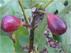 Ficus carica LSU Purple Fig Инжир, Фига, Фиговое дерево, Смоковница, сорт LSU Purple Fig