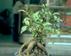 Panax ginseng Женьшень обыкновенный