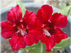 Adenium Red dragon