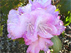Rhododendron Arctic Glow Рододендрон Арктическое сияние