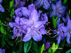 Rhododendron Blue Bird Рододендрон Голубая птичка