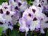 Rhododendron Blue Peter Рододендрон Голубой петер