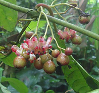Лимончилло Siparuna eggersii