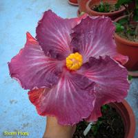 Hibiscus Taiwan Purple Spotted Butterfly х Storm Front