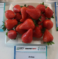 Strawberries Antea (Клубника сорт Антея) (Саженцы ЗКС. Заказ на август-сентябрь 2020 г.)