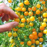 Tomato Gold Rush Currant (Мини томат Золотая Лихорадка)