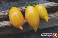 Tomato Golden Canary (Томат Золотая Канарейка)