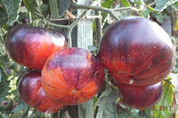 Tomato Red Beauty (Томат Красная Красотка, США)